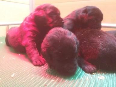 cuccioli neri-1