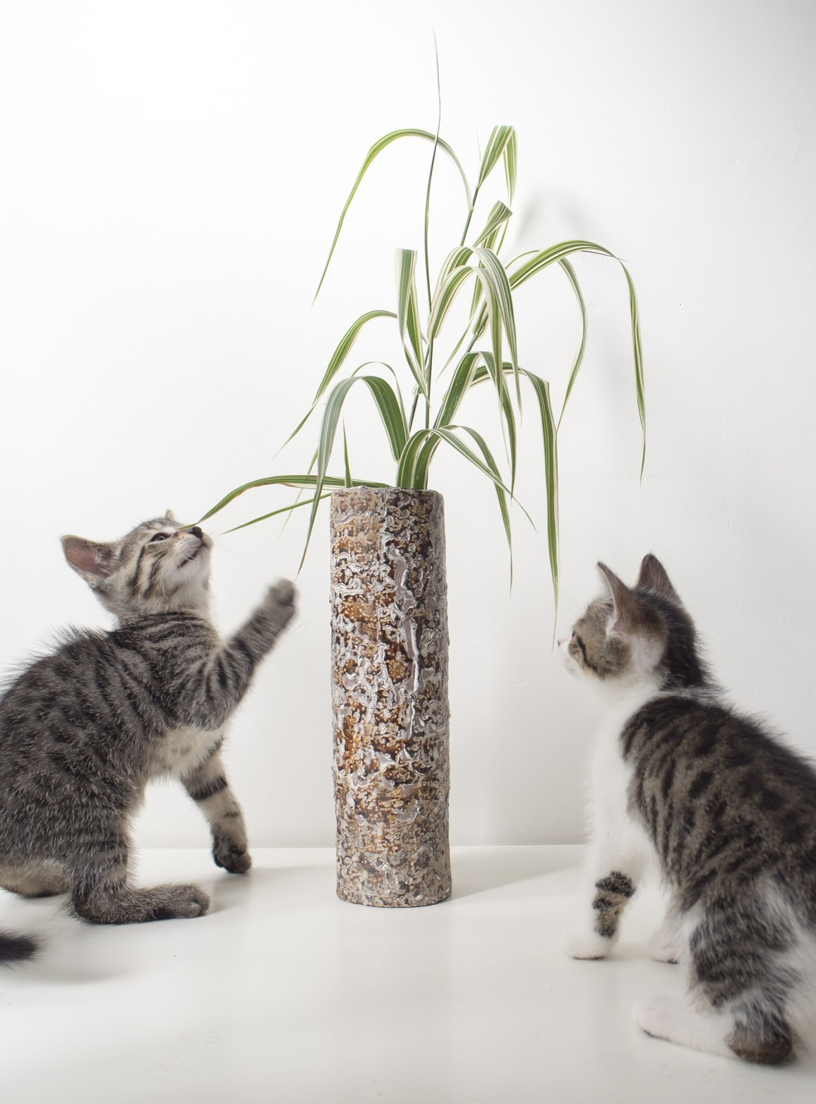 kitten grass