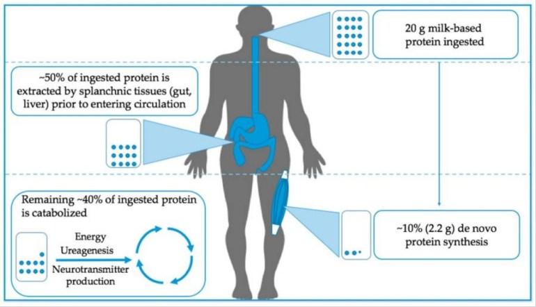 Proteinets upptag i kroppen