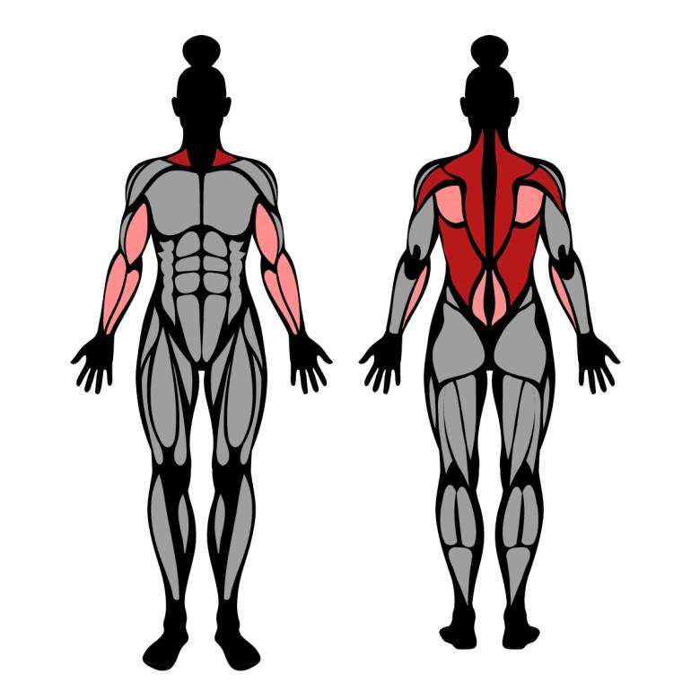 Muskler som tränas av övningen skivstångsrodd