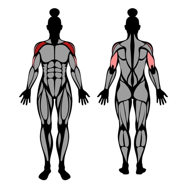 Muskler som tränas av axelpress med hantlar