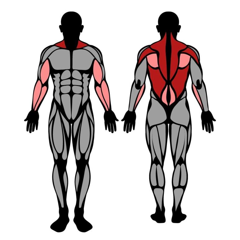 Muskler som tränas av pendlayrodd