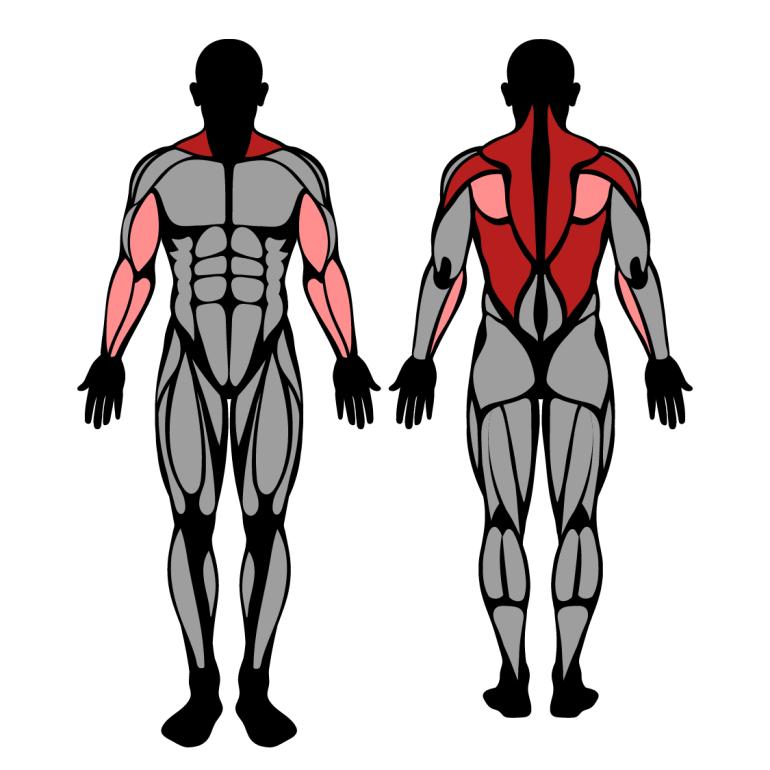 Muskler som tränas av skivstångsrodd