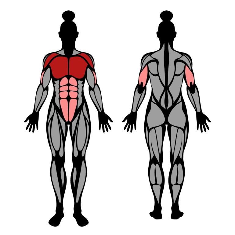 Muskler som tränas av övningen knästående armhävningar