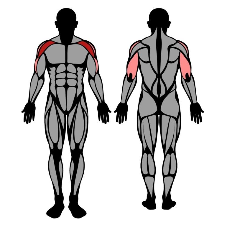 Muskler som tränas av sittande axelpress med hantlar