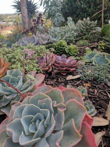 Succulents of Australia