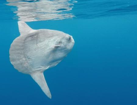 pez luna submon