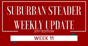 2017 Suburban Steader Update – Week 11