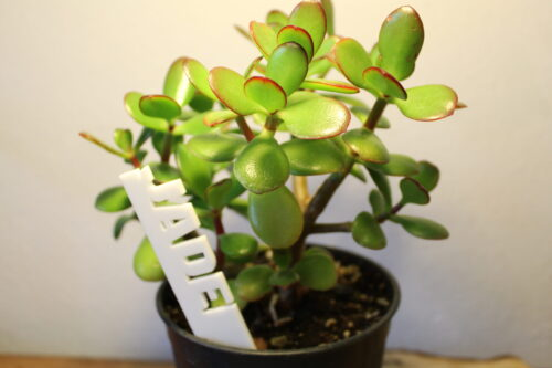 jade stick in jade plant