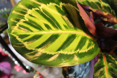 calathea leaf close up