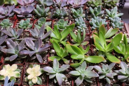 many small succulents
