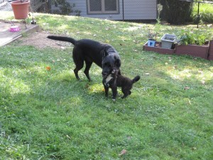 Playing with my neighbor Callie!  These two get to play together a few times a week and love it!