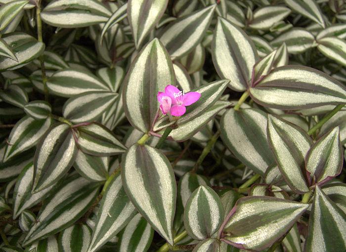 https://i2.wp.com/www.succulent-plant.com/families/commelinaceae/p1020594.jpg
