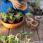 How To Repot Succulents Know Why And When To Repot