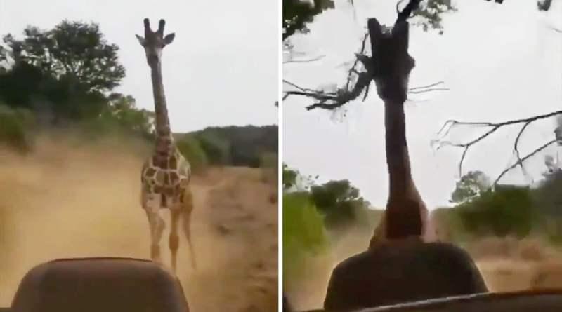 Una jirafa adulta persiguiendo un vehículo