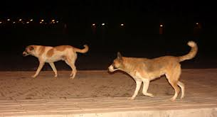 كلاب ضالة تهاجم وترعب المواطنين بالجزيرة