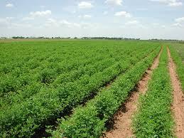 السعودية تبحث عن أرض في السودان لزراعة العلف