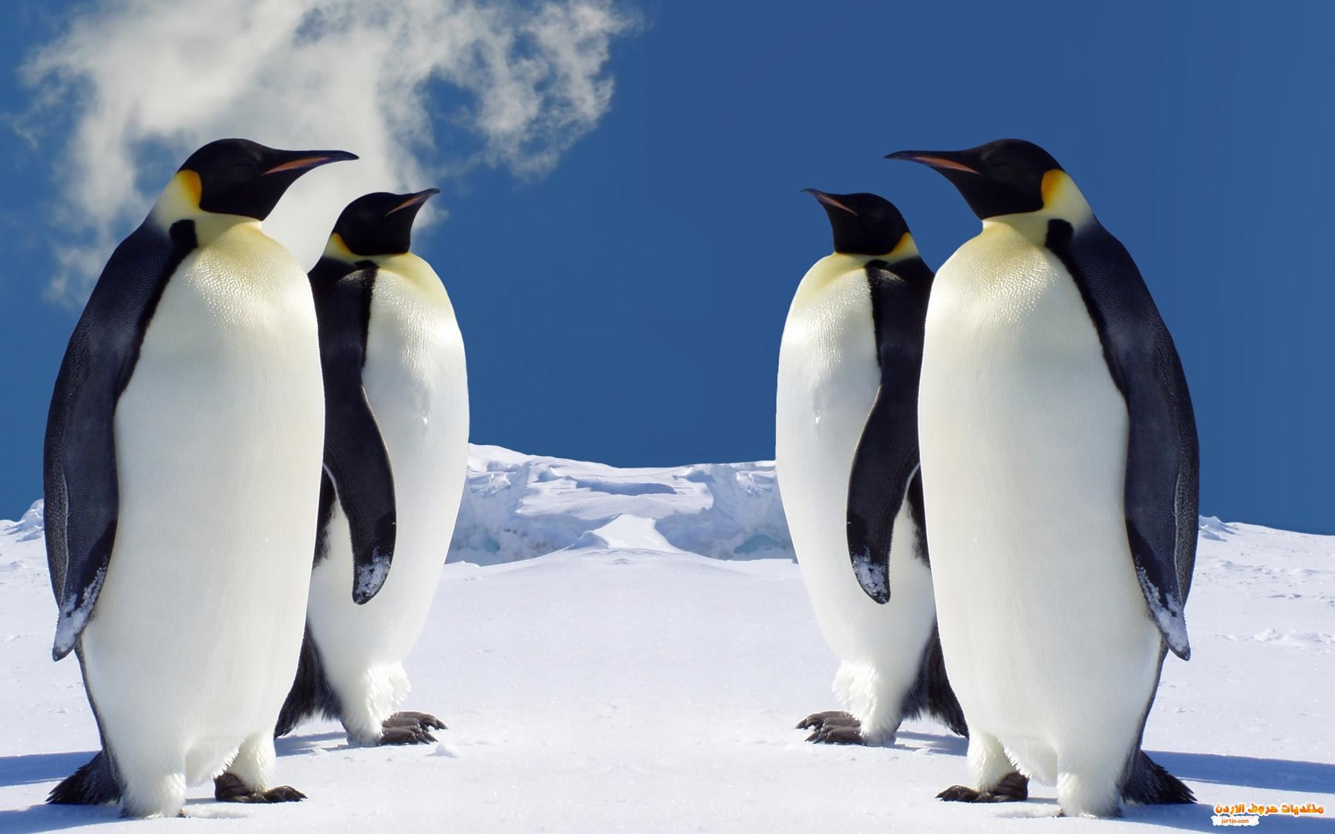 بالصور :الجزيرة التي يحكمها طائر البطريق
