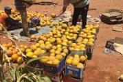 بالصورة : صحاري السودان تنتج أفضل أنواع الشمّام !!