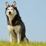 Bitin af Husky hundi og biðlar til hundaeigenda að vera ekki með hunda sína lausa