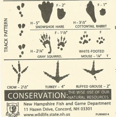 snowshoe hare to ruffed grouse tracks
