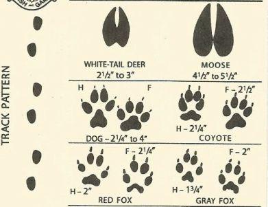 white tail deer to gray fox tracks