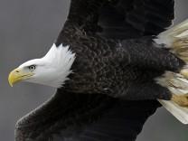 Biologie: Ursache für Massensterben von Weißkopfseeadlern entdeckt