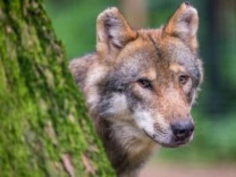 """Artenschutz: """"Der Wolf ist kein Dämon"""""""