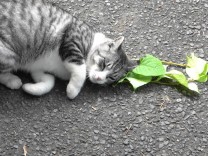 Verhaltensbiologie: Der nützliche Rausch der Katzen
