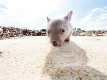Zoologie: Warum Wombats Würfel koten