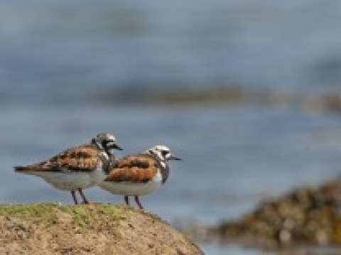 Vögel: Und wieder sind zwei Arten verloren