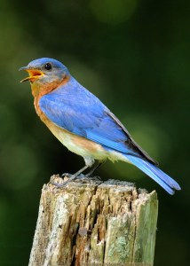 bluebird-600