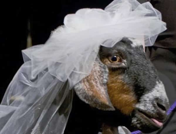 Suffolk man forced to marry his goat