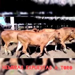 17  hembras con 3 meses expuestas a toro brahman rojo. Con un peso de 385kgs ( por lo menos la mitad están preñadas)