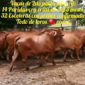 Vacas de 2do parto /15 y   /16. 14 paridas con crías de 2 y 3 meses, 32 escoteras con preñez confirmada.