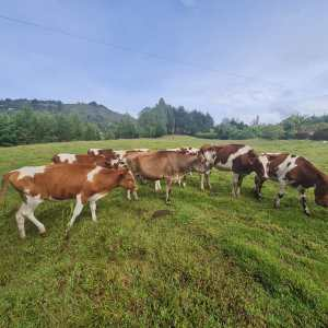 Se vende hermoso lote de 9 novillas Ayrshire y 1 Jersey de 16 – a 22 meses de edad, la Jersey tiene 24 meses. Hijas de Toros Ayrshire y Jersey Puros. Listas para entorar, seleccionadas de 25 L. Ubicadas en Rionegro – Antioquia. Precio $2.800.000. Se escuchan orfertas.