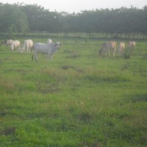 Venta 14 vacas cebú preñadas