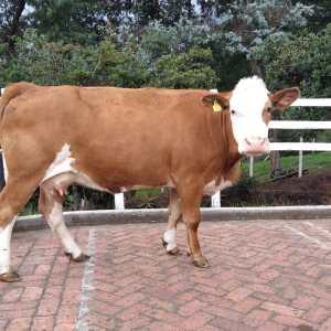Vaca simmental pura con registro.