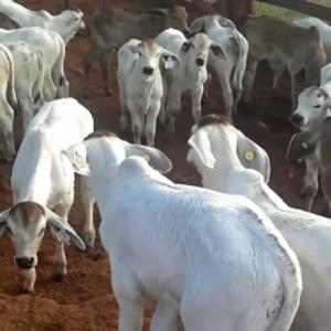 Brahman F1 Cow/Calf Pairs
