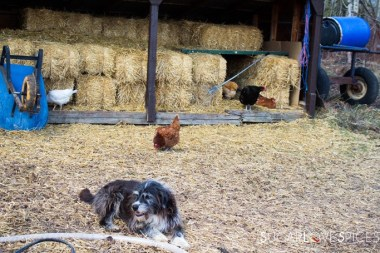 Triple Lyoness farm-chickens and dog