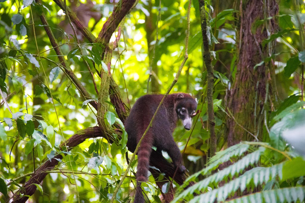 Ring-tailed Coati in Arenal National Park
