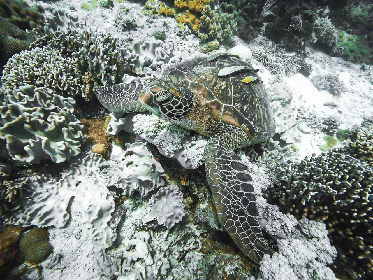 Turtle in Camiguin Island