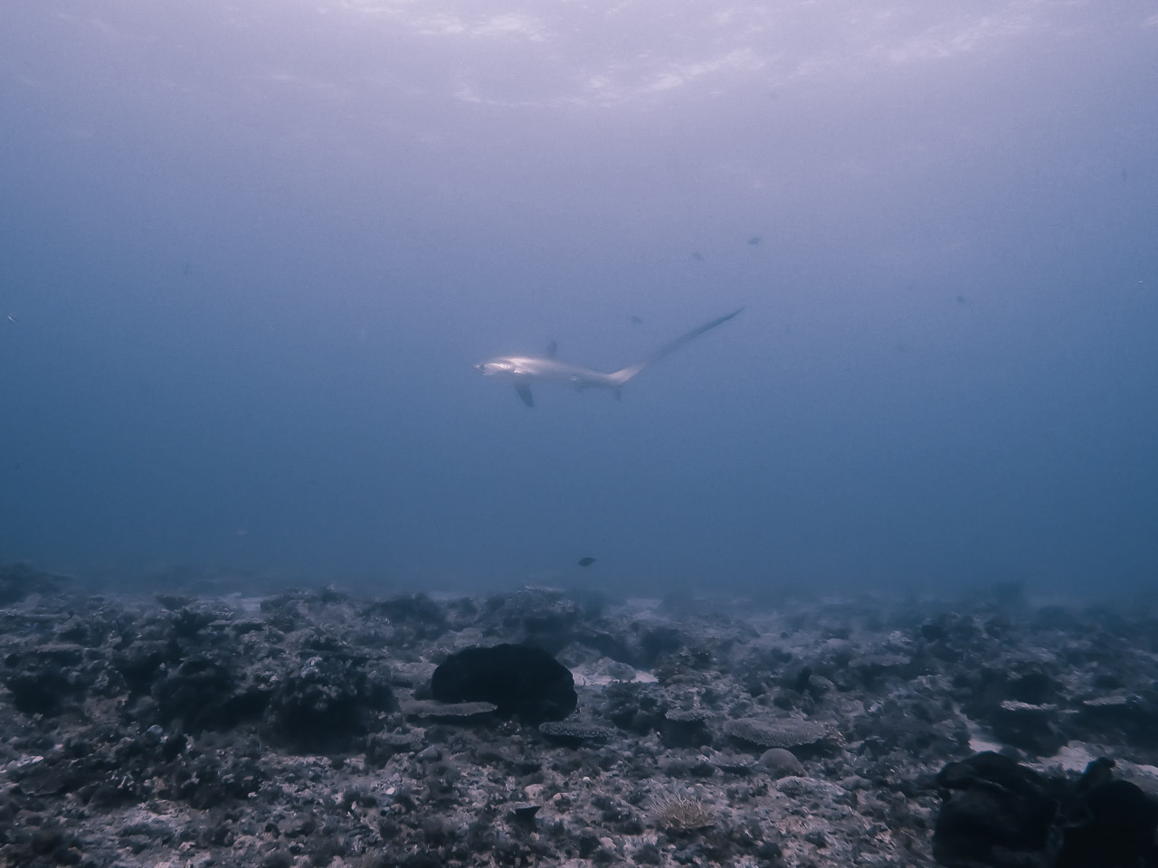 diving in Malapascua with Thresher sharks