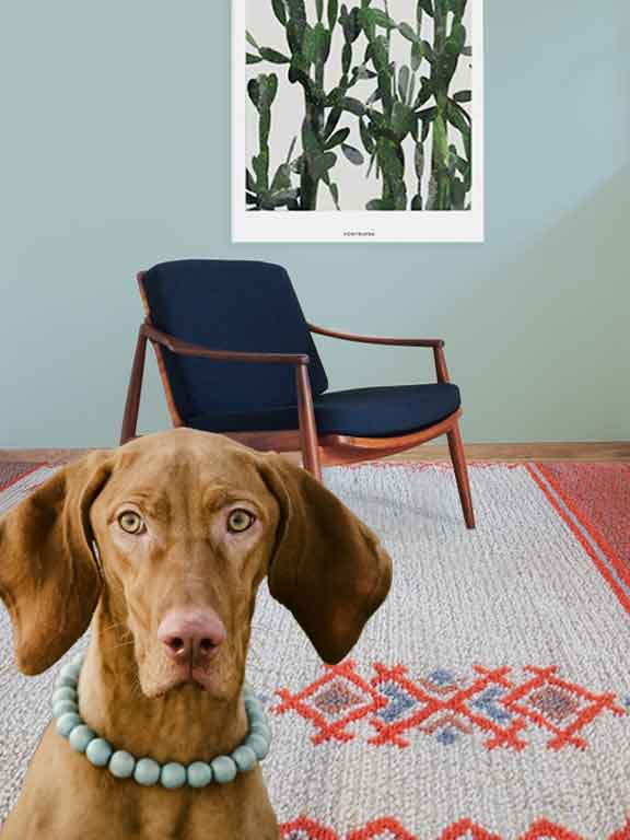Dog with necklace in room with rug and Mid-Century Modern Chair