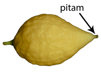 Esrog/etrog with pitam