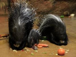 Mimořádně úspěšný pár dikobrazů, Sanu a Babu, má další mládě. Foto (c) Simona Jiřičková