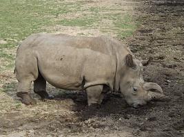 Nejistá budoucnost nosorožců - MVDr. Lukáš Pavlačík, Ph.D.