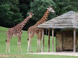 Žirafy poprvé volně v safari! ZOO Dvůr Králové představuje další novinku
