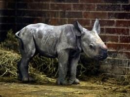 ZOO Dvůr Králové slaví druhé letošní mládě nosorožce dvourohého