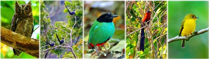 Sulawesi Birding Tour